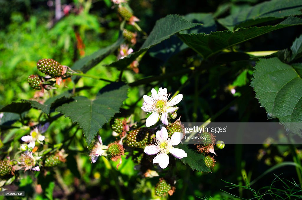 Raspberry Blossom with green berries and flower : Stock Photo