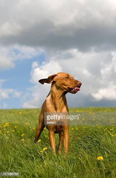 Himbeer-Hund