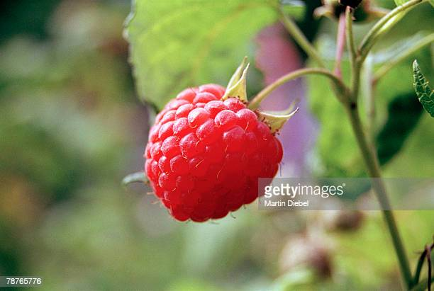 A raspberry on a branch