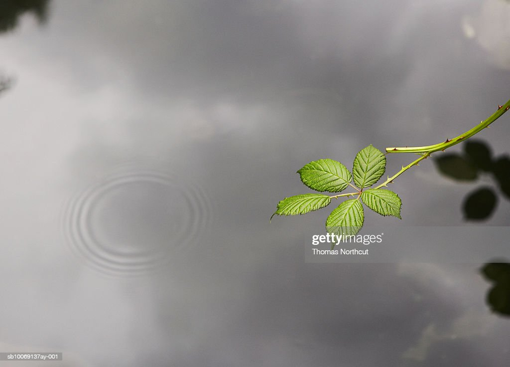 Raspberry plant branch above pond surface : Stockfoto
