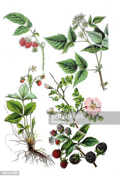 Raspberry Rubus idaeus wild strawberry woodland strawberry Fragaria vesca blackberry Rubus fruticosus sweetbriar rose Rosa rubiginosa