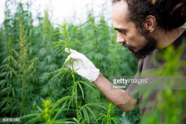 Rastafarian checking hemp leafs