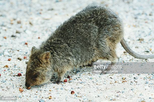 Rat Eating Berry Fruit On Field