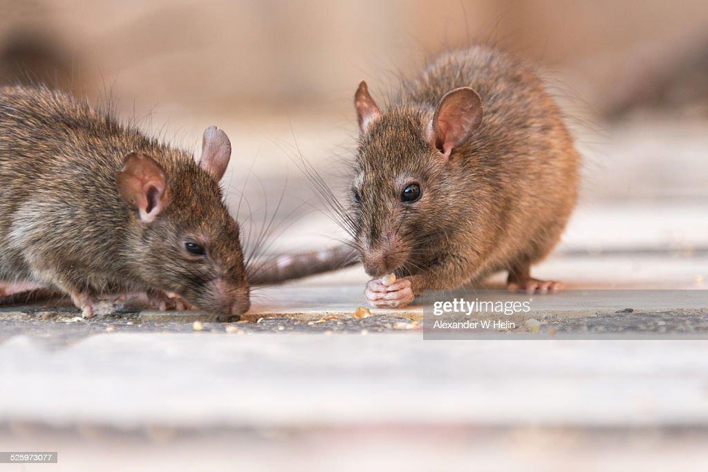 Rat eating : Stock Photo