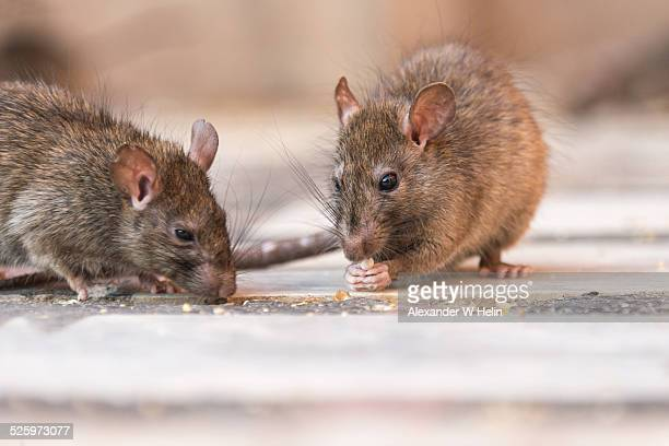 rat eating - pest stock photos and pictures