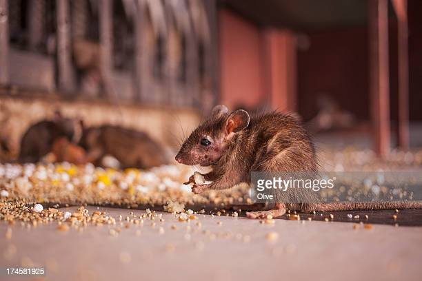 rat eating seeds in Shri Karni Mata Temple ( templ