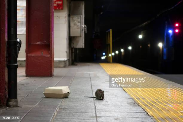 A rat eats on the platform at the Herald Square subway station in New York City on July 4 2017