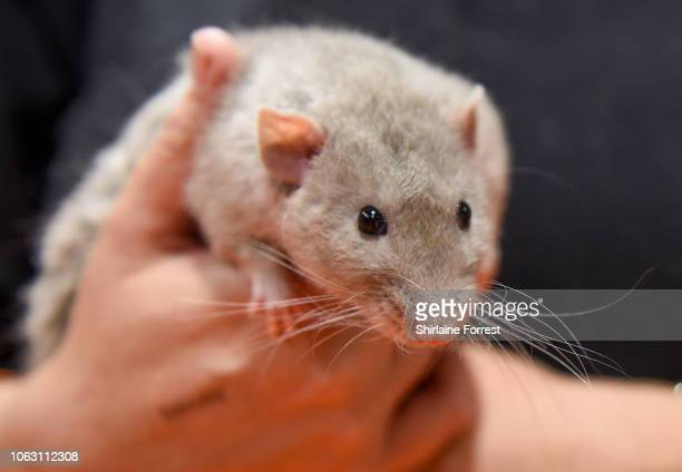 A rat enjoys a hug at The National Pet Show at NEC Arena on November 03 2018 in Birmingham England