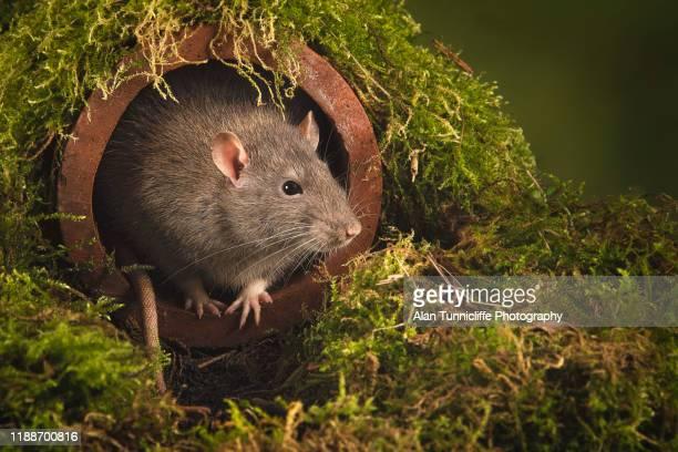 rat in a drain - ratazana imagens e fotografias de stock