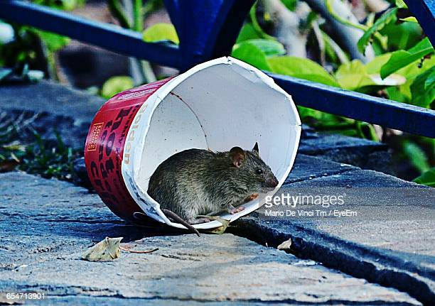 rat in disposable cup in park - ratazana imagens e fotografias de stock