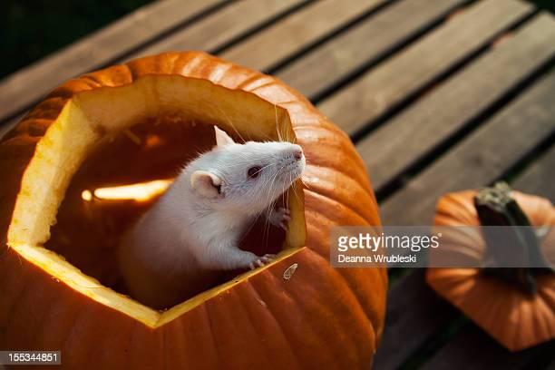 Rat in pumpkin