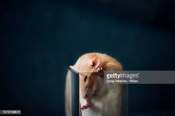 rat in the glass - faina stock pictures, royalty-free photos & images