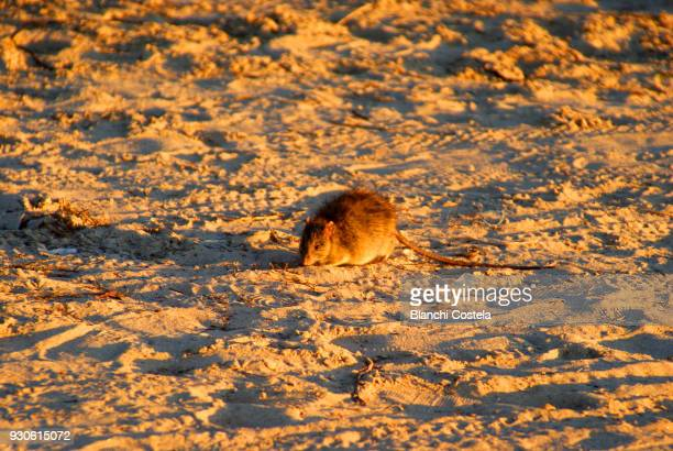 Rat of the pines sunbathing on the beach at sunset