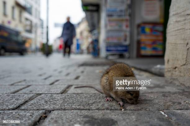 rat on cobbled street in city - ratazana imagens e fotografias de stock