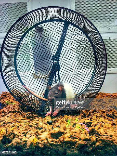 Rat On Exercise Wheel Cage