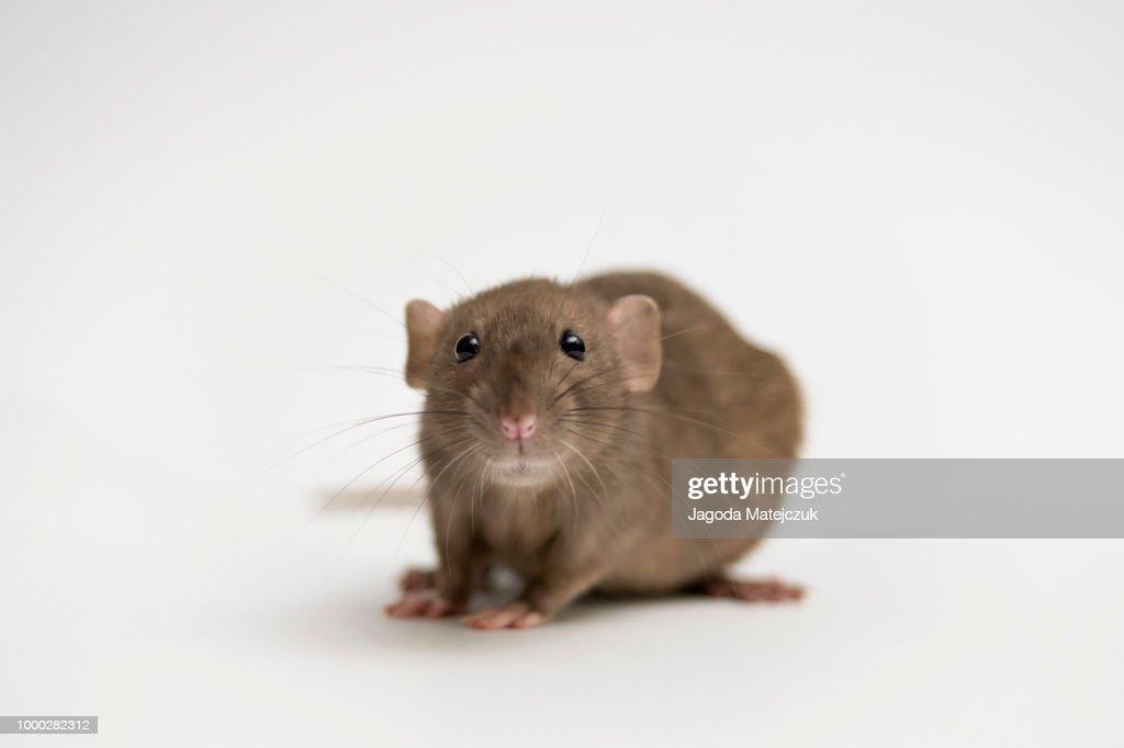 Rat : Stock Photo
