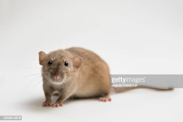 rat - cute mouse stock pictures, royalty-free photos & images