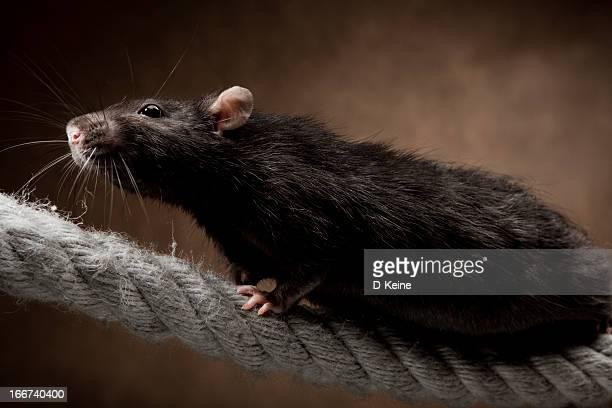 rat - animaux domestiques photos et images de collection