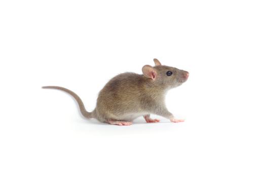 rat 177347598