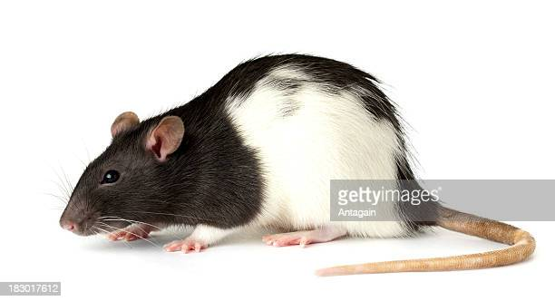 rat - rat stock pictures, royalty-free photos & images