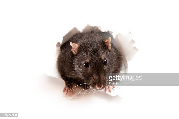 rat - pest stock photos and pictures