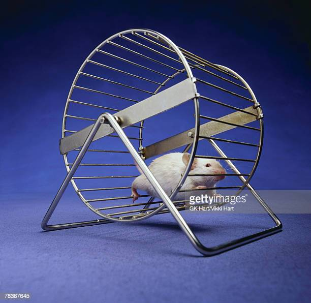 Rat running in exercise wheel