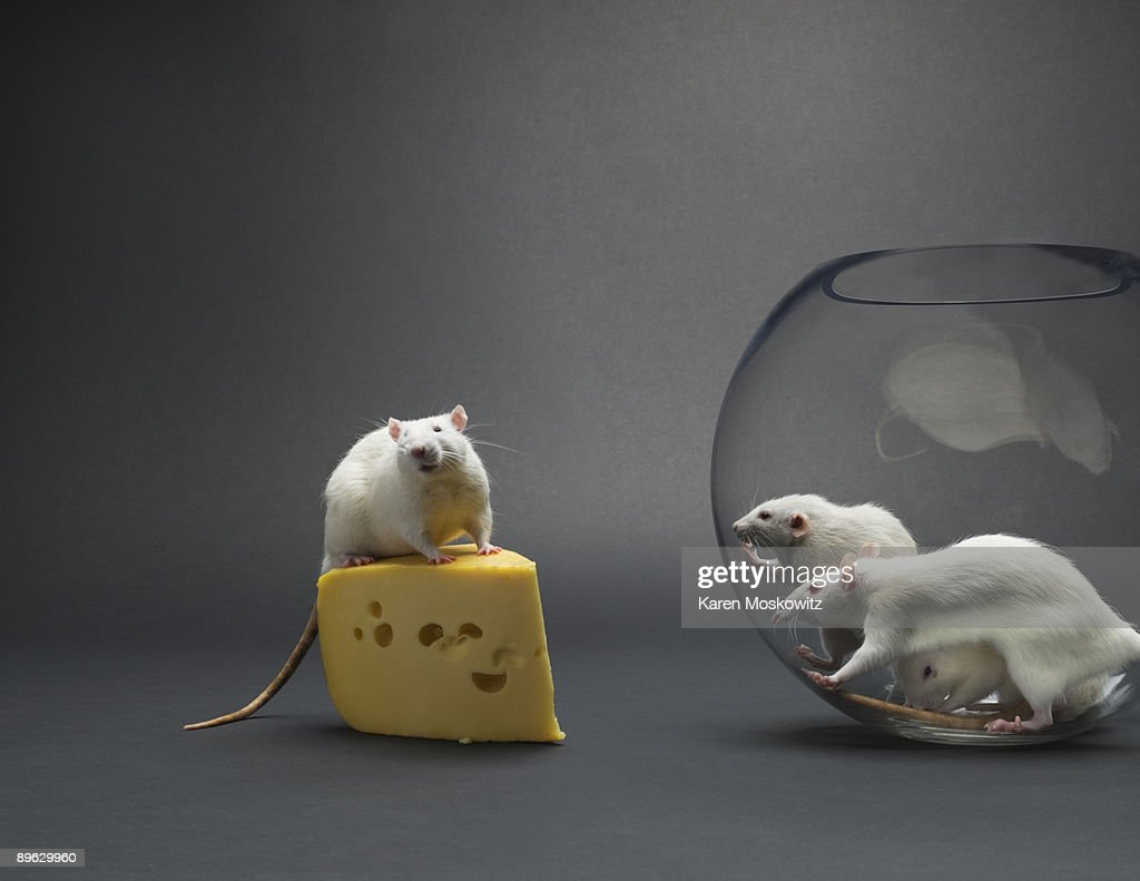 Rat sitting on cheese with onlooking rats in bowl : Stock Photo