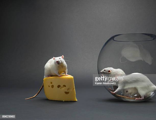 Rat sitting on cheese with onlooking rats in bowl