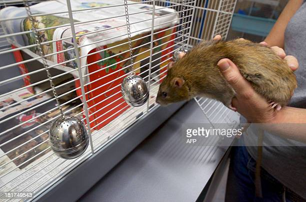 A rat smells a tea ball infuser in the premises of the Dutch police in Rotterdam on September 18 2013 Since the end of 2011 the Dutch police trains...