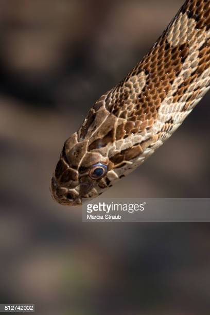rat snake head up close - rat snake stock photos and pictures