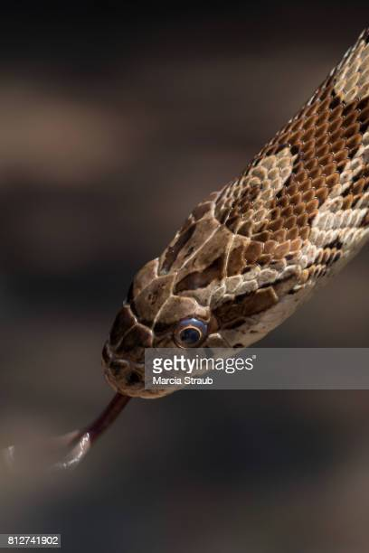rat snake with tongue out - rat snake stock photos and pictures