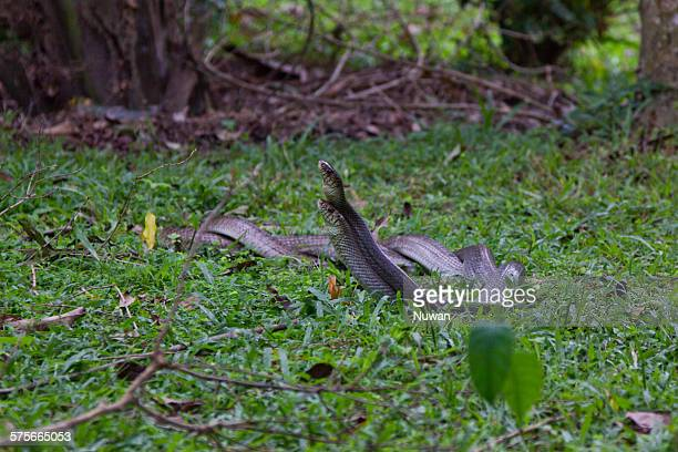 rat snakes - rat snake stock photos and pictures