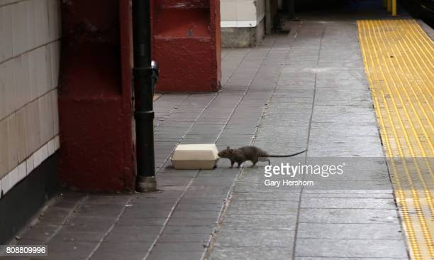 A rat sniffs a box with food in it on the platform at the Herald Square subway station in New York City on July 4 2017