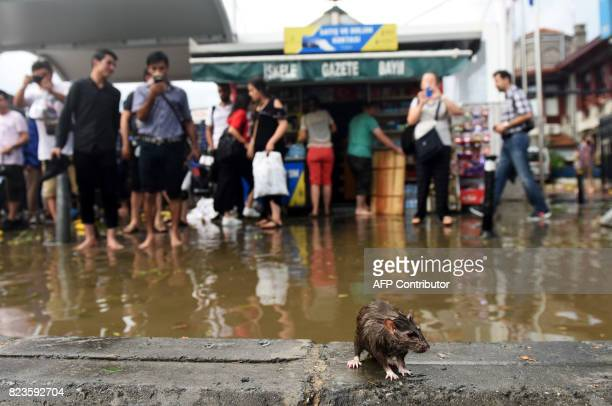 A rat stands on a cement block in a flooded street after a heavy downpour of rain and hail at Besiktas near Istanbul on July 27 2017 / AFP PHOTO /...