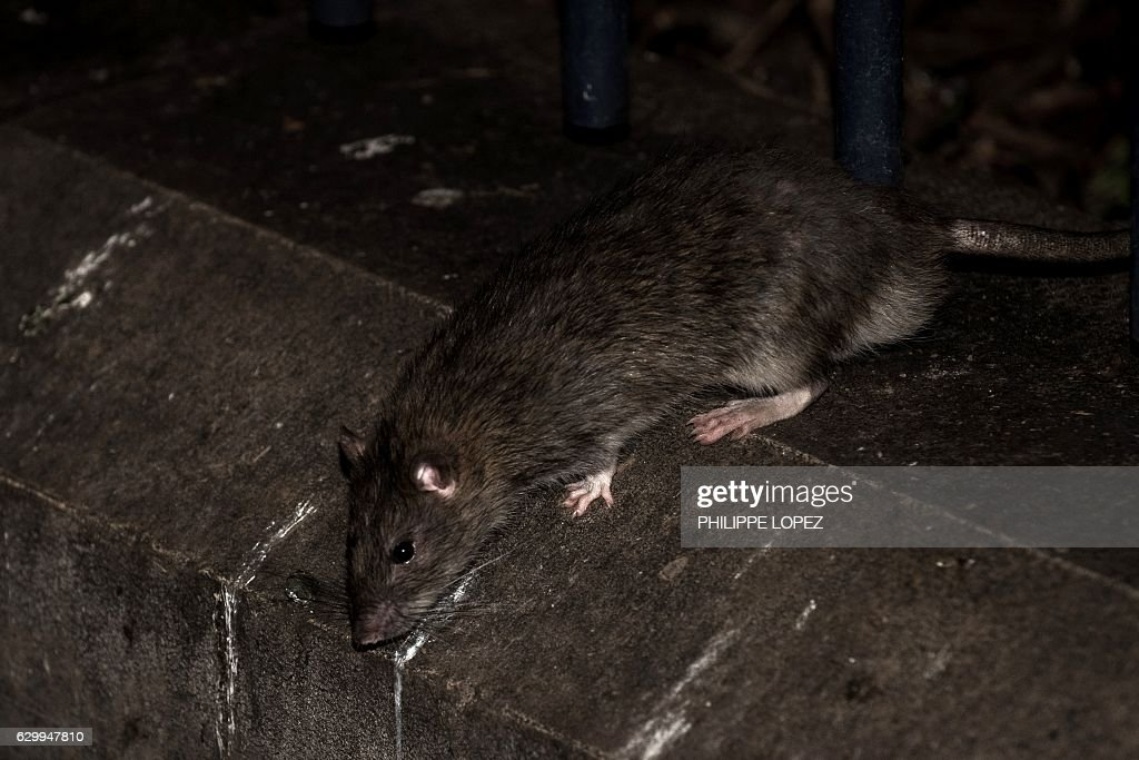 A rat stands on a low wall at the square of the Saint Jacques tower close to the rue de Rivoli, in Paris on December 15, 2016. The City of Paris has launched a series of operations against the rats present in large numbers in the recent days. / AFP / PHILIPPE