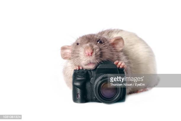 Rat With Camera On White Background