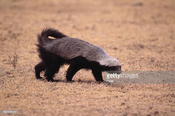 Ratel, or Honey Badger