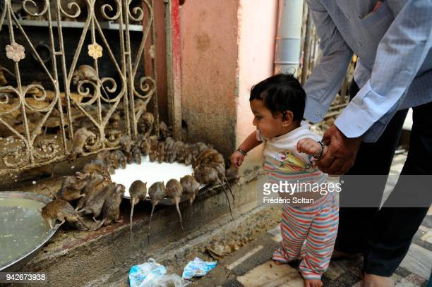 Rats drink milk from a dish in The Karni Mata temple in Deshnoke The rats are worshipped as holy creatures in Rajasthan on March 08 2017 in India