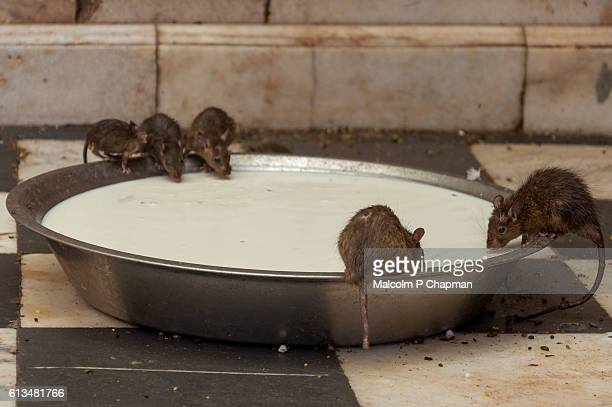 Rats drinking milk at Karni Mata Rat Temple at Deshnoke, Bikaner, Rajasthan