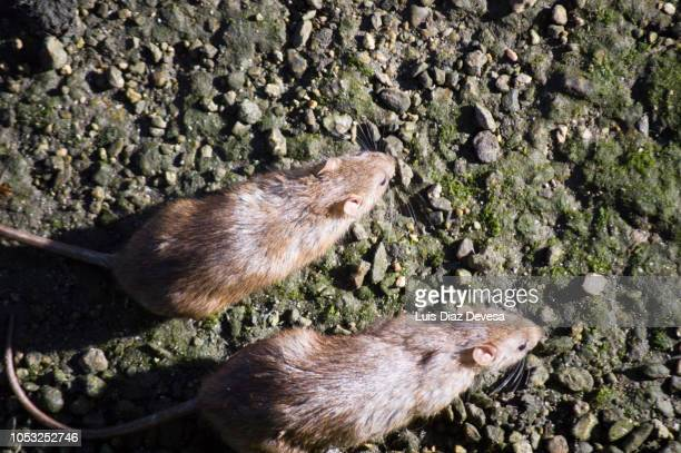 rats in the river