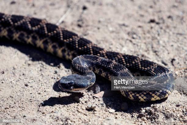 rattle snake attack - eastern diamondback rattlesnake stock pictures, royalty-free photos & images