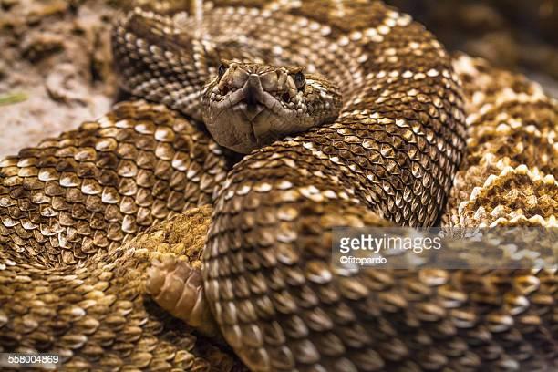 rattle snake, close up - eastern diamondback rattlesnake stock pictures, royalty-free photos & images
