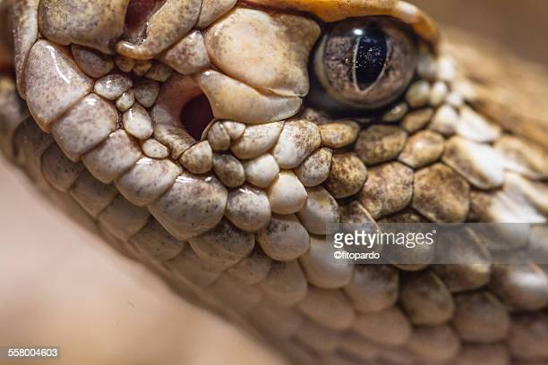 Rattle snake, extreme close up