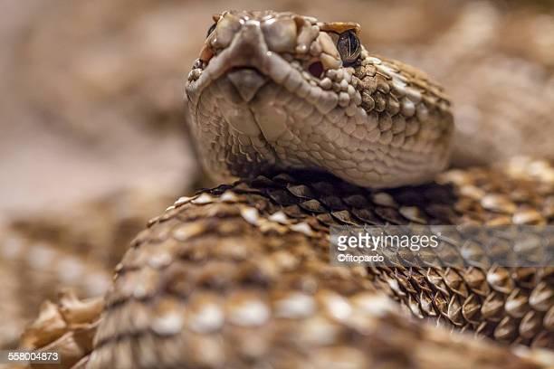 rattle snake, extreme close up - eastern diamondback rattlesnake stock pictures, royalty-free photos & images