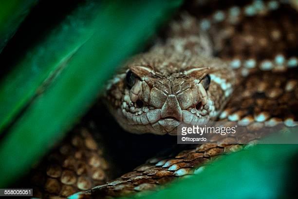 rattlesnake, close up - eastern diamondback rattlesnake stock pictures, royalty-free photos & images