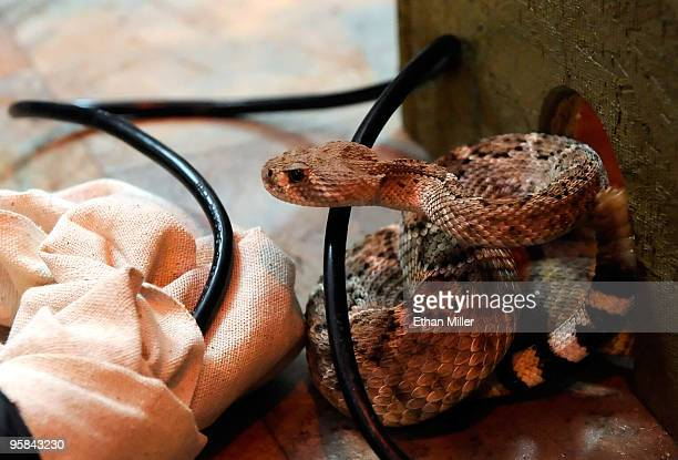 A rattlesnake coils up in a glass box filled with 50 deadly snakes outside O'Sheas Casino on the Las Vegas Strip January 17 2010 in Las Vegas Nevada...