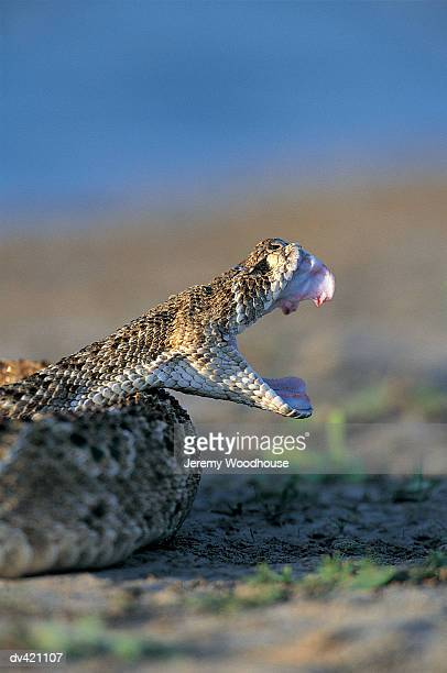 Rattlesnake, Rio Grande Valley, South Texas, USA