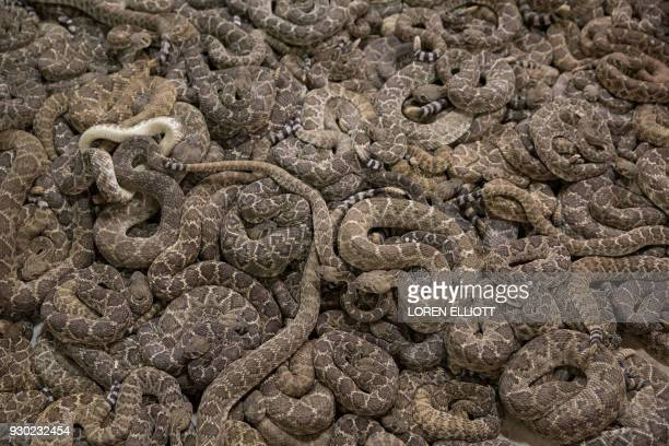 TOPSHOT Rattlesnakes fill a viewing pit during the Sweetwater Rattlesnake Roundup at Nolan County Coliseum in Sweetwater Texas on March 10 2018