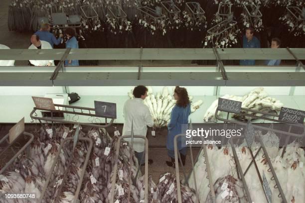 Felle werden zur größten deutschen Pelzversteigerung der 605 Rauchwarenauktion in Leipzig unter den Hammer kommen Käufer aus Amerika Fernost und...