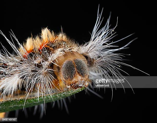 Raupe Raupen Spinnerrraupe Schmetterlinge Spinner Raupenhaare Brennhaare Nesselhaare Raupenporträt Kopfkapsel Lasiocampidae Porträt Bufoidia pittaway